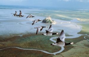 normal_winged_migration_02_536